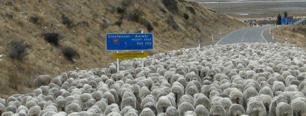 Mt cook sheep