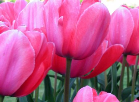cropped-tulips.jpg