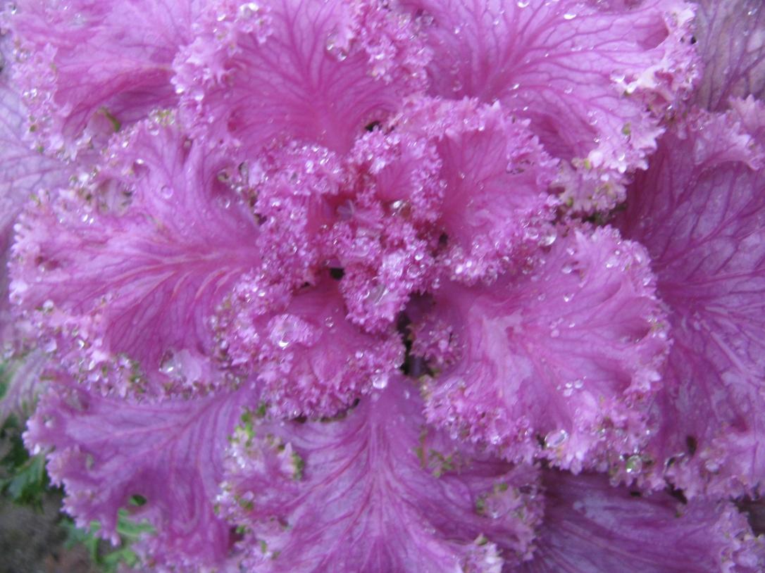 Cabbage flower or fruit - Narita, Japan