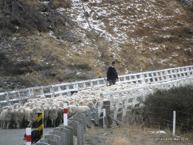 Mt Cook Merino sheep