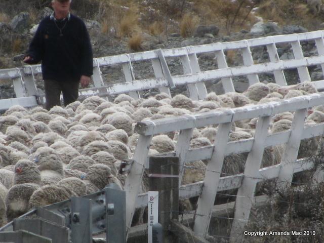 Merino sheep Mt Cook
