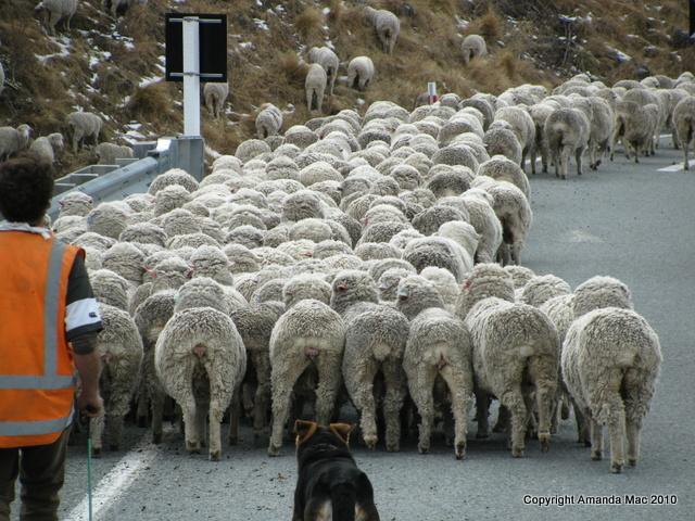 Sheep New Zealand