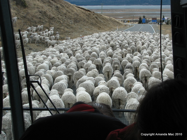 Sheep Merino wool Mt Cook