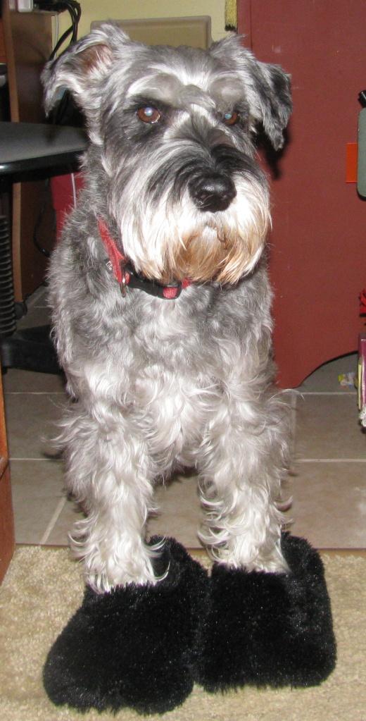 dog in slippers