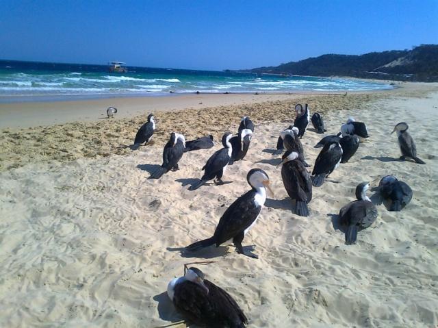 Cormorants on Tangalooma