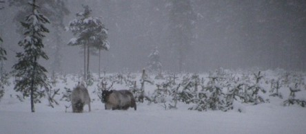 reindeer tracking