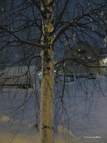 Birch in Snow