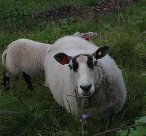 High country Sheep in Golfjellet, Norway