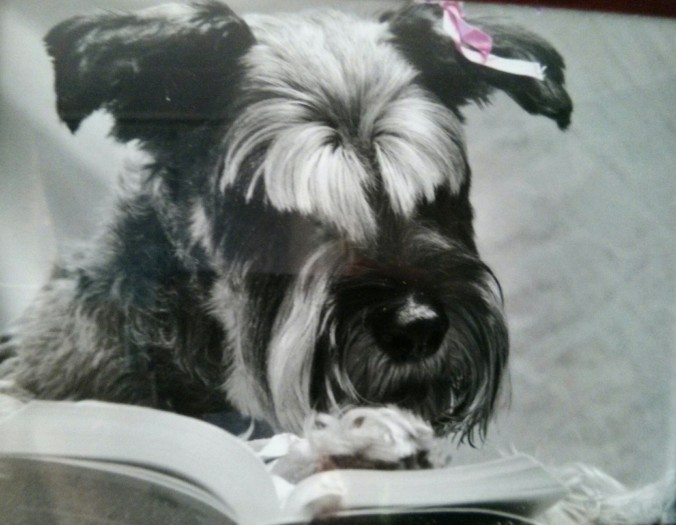 schnauzer dog reading