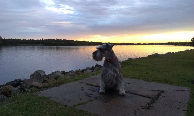 schnauzer dog sunset
