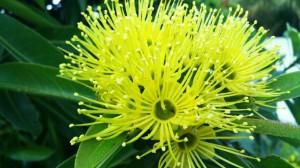 xanthostemon chrysanthus