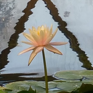 waterlilly - Copy