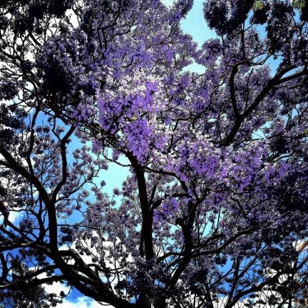 jacaranda tree in bloom