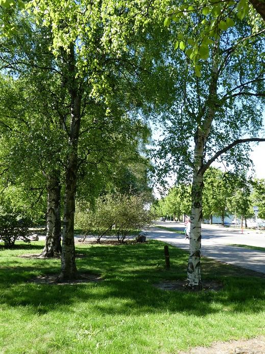 BIrch in Helsinki