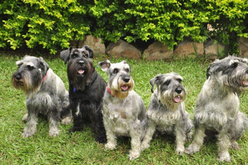 schnauzer dogs