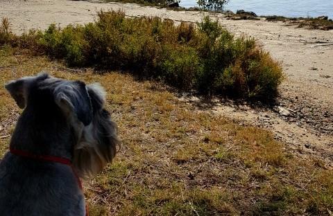 schnauzer at beach