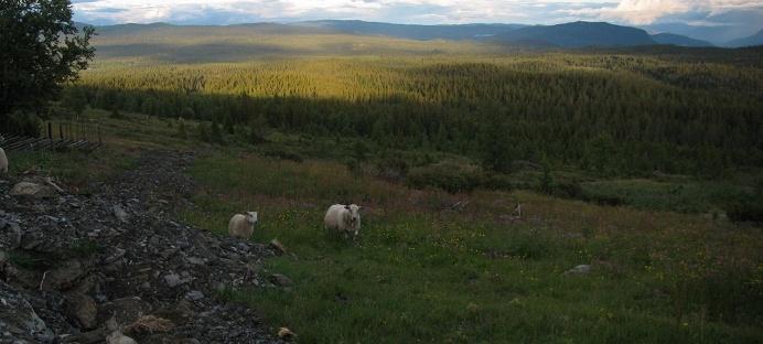 Hallingdal Golfjellet- sheep