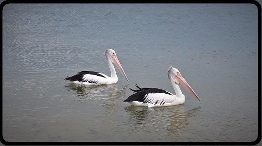 pelicans 20160130_141334