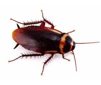 main_australia-cockroach