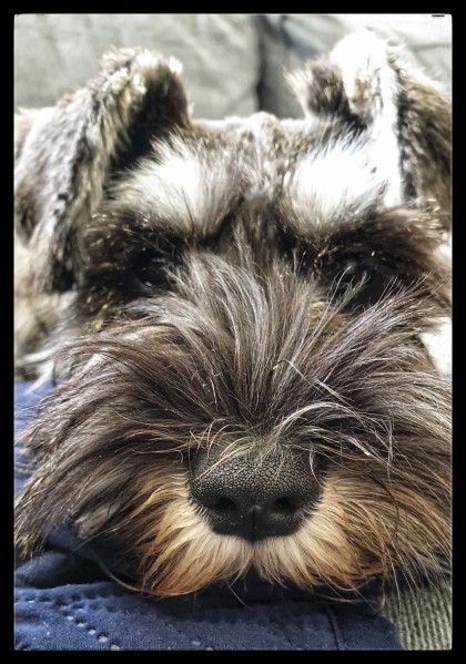 beard of a schnauzer dog