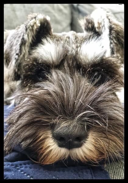 beard of a schnauzer dog