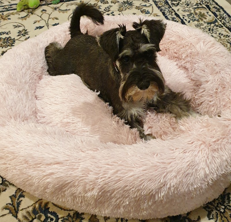 schnauzer dog in pupsnaps bed