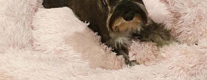 schnauzer dog in pupsnaps bed
