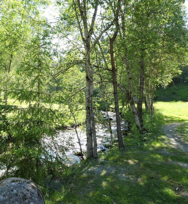 birch trees beside a Norwegian stream