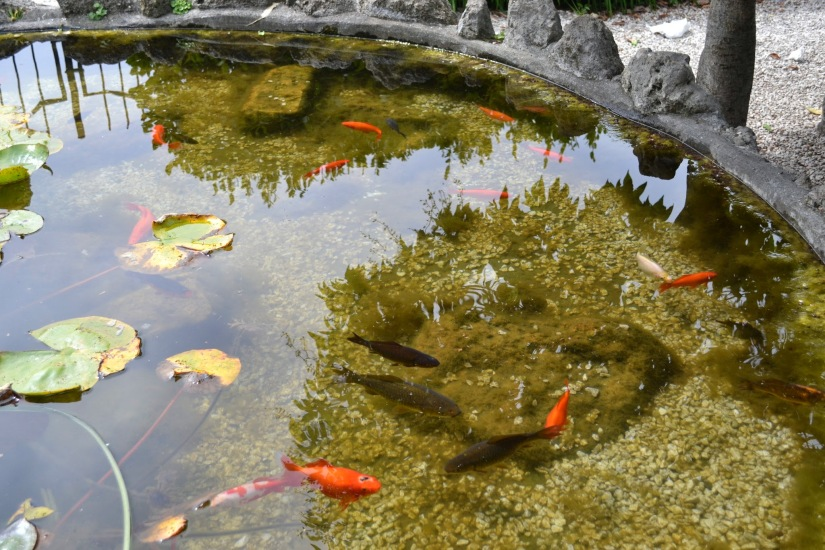 Gold Fish in a pond