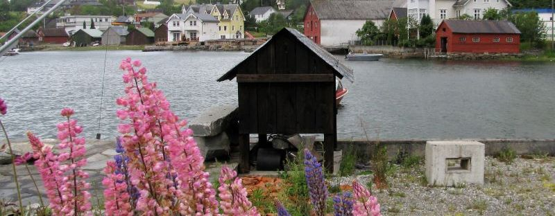 pink lupines in fishing wharf norway