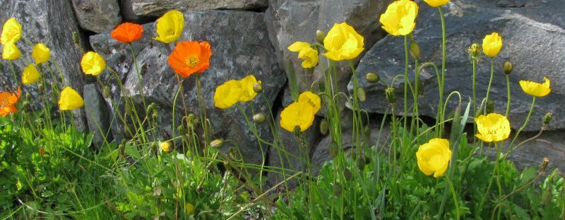 poppies in norway against a rock wall